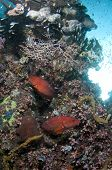 stock photo of raja  - Pair of Coral Groupers  - JPG