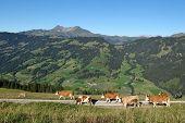 Simmental Cows On A Farm