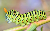 picture of green caterpillar  - details of papilio machaon caterpillar - JPG