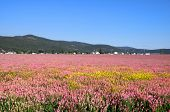 Pink flower fields in the state of Montana