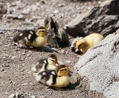 Group Of Cute Yellow Ducks