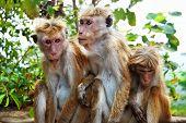 Monkey Family At Sigiriya, Sri Lanka