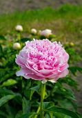 Blooming Peony In The Garden