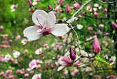 Blossoming Of Magnolia Flower With Burgeons