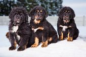 Three Black Puppies Of Tibetan Mastiff