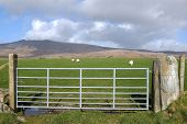 Metal Gate, Sheep Grazing.