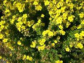 Masses of yellow flowers