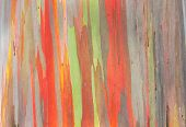 Rainbow Eucalyptus