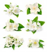 foto of jasmine  - Set of white flowers of jasmine on the white - JPG