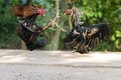 Fighting cocks in a vicious attack clawing at each other with their feet and legs which are fitted w