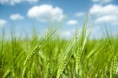 foto of spike  - green wheat field and blue sky spring landscape - JPG