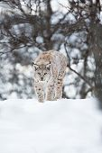 picture of sneak  - A european lynx sneaks in the winter forest - JPG