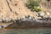 Colony crested cormorants on stones