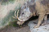 Babirusa Wild Boar Closeup