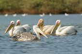 A Pink-backed Pelicans Floating Past A Group Of Great White Pelicans