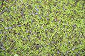 Small Green Duckweeds