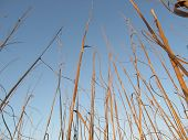 image of sea oats  - Sunlit Sea Oats with a blue sky - JPG