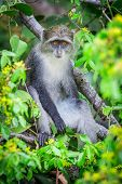 foto of darwin  - A Blue Monkey in the lush jungles of Zanzibar Tanzania - JPG