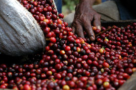 stock photo of coffee coffee plant  - Red coffee beans in Guatemala mountains La Democratia - JPG