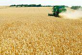 Harvesting Yellow Wheat In Caucasus Region
