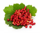 Red Berries Of Viburnum On A Branch Isolated On The White Background