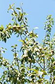 Twigs Of Pear Tree With Ripe Fruits