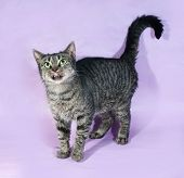 Tabby Cat Licking, Standing On Purple