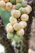 Fresh Wollongong Fruits On Tree.