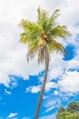 Old Coconut Tree And Blue Sky