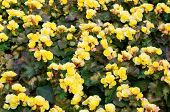 Yellow Color Begonia, Botanic Garden