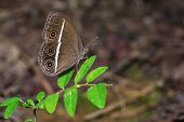 Smooth-eyed Bushbrown Butterfly