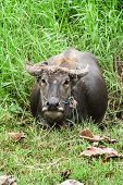 Potrait Buffalo With Rope On Pond Green Field Of Thailand