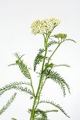Yarrow in vertical composition