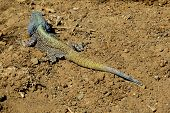 large multi-colored lizard sitting on sand