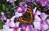 Daily Admiral butterfly (Vanessa atalanta), family Nymphalidae, on the flowers phlox