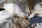 Snowy Sheathbill Which Stands On A Rock And Cleans Its Beak