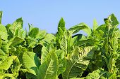 growing tobacco in a field in Poland