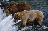 USA, Alaska, Katmai National Park, two Brown Bears catching Salmon standing in river above waterfall