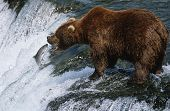 USA, Alaska, Katmai National Park, Brown Bear catching Salmon in river, side view