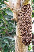 Swarm Of Honey Bee  On Tree