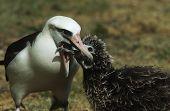 image of albatross  - Laysan Albatross  - JPG