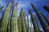 USA, Arizona, Organ Pipe Cactus against sky, low angle view