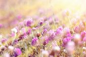 picture of red clover  - Flowering red clover in meadow lit by sunbeams - JPG