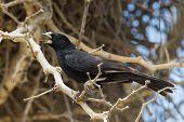 White-billed Buffalo Weaver (bubalornis Albirostris) Calling Near Its Group Nest In An Acacia Tree