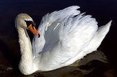 White king swan with the napped feathers
