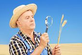 Mature farmer examining his harvested wheat through a  magnifying glass in a field