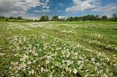 picture of hayfield  - Hayfield with daysies beautiful nature of Latvia - JPG