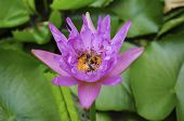 Lotus Blossom With Bee Inside