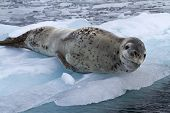 Large Female Leopard Seal Lying On Ice Floe
