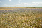 Fields Wheat